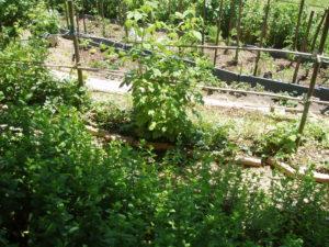 Rêveries Gasconnes Menthe framboises, tomates, etc...title